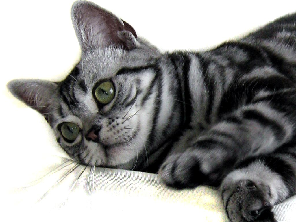 Cat breeds starting with A. History and characteristics. | Pets