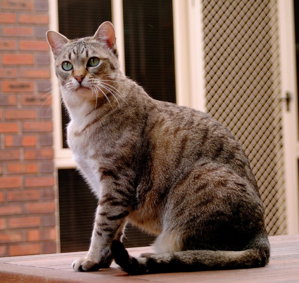 Cat breeds alphabetical order, history and characteristics ...