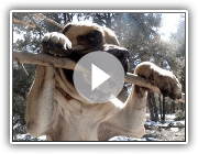 English Mastiff Samson Snaps Tree Branch!