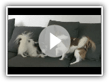 Papillon dogs playing