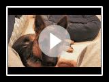 German Shepherd Dog Tribute - Sam von Wilhendorf