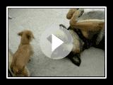 Puppy Owns German Shepherd