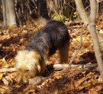 Bosnischer Laufhund