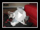 www.ahtdog.com American Grönland Terrier-Aug 2007 (Teil 1)