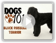 Cães 101 - Black Russian Terrier
