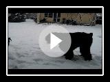 Black Russian Terrier Zhandar Jhamalitsa 12, 5 m & riesenschnauzer femelle - 3