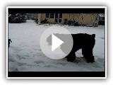 Black Russian Terrier Zhandar Jhamalitsa 12, 5 m & female riesenschnauzer - 3