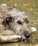 Greyhound irlandês