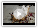 Missy the Pembroke Welsh Corgi doing silly tricks