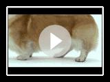 cães 101 01-03c pembroke welsh corgi [lks webrip].MKV