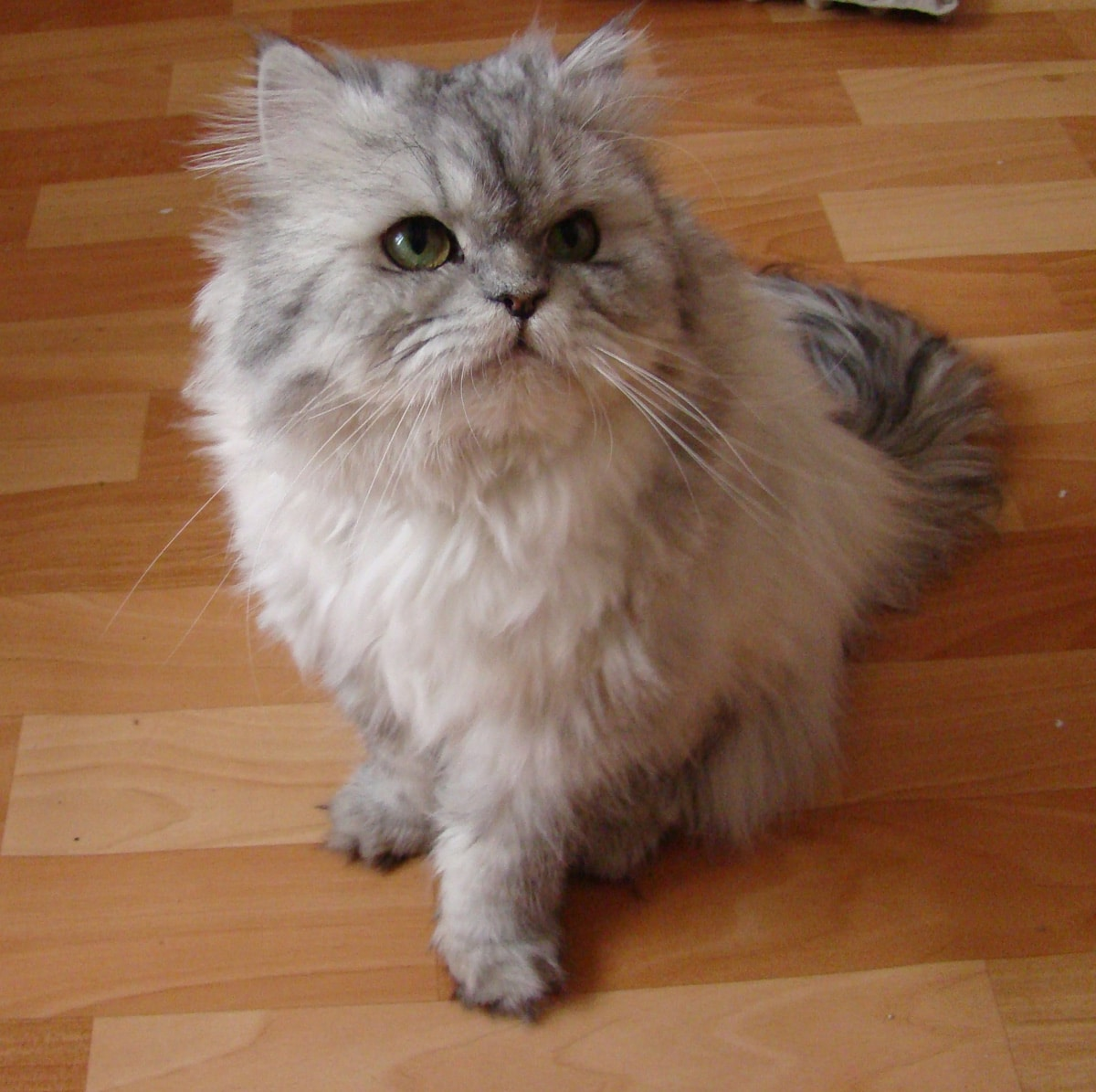 Image result for cat long hair