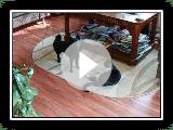 Schipperke Easy versus tomcat Mako