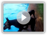 Skyline Giant Schnauzers Tag am pool