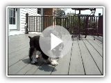 Two Miniature Schnauzers playing