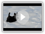 Scottish terrier having fun in the snow - part 1