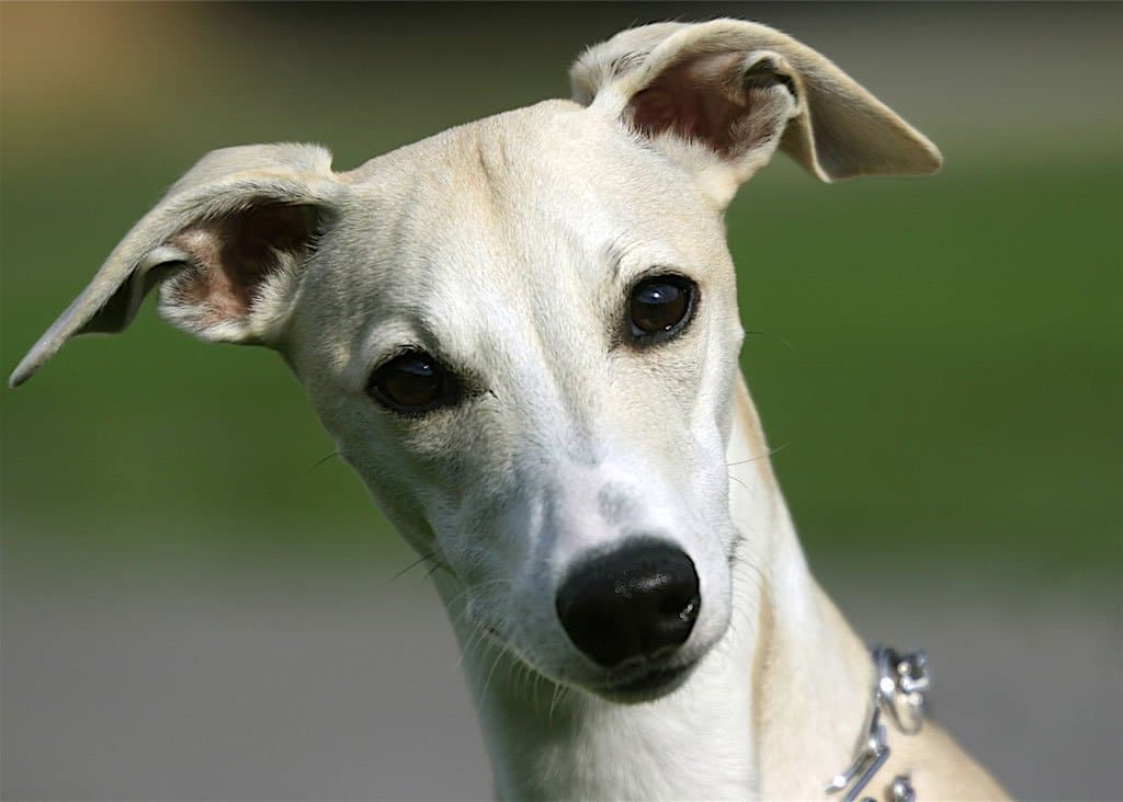 Dog Breeds Similar To Greyhound