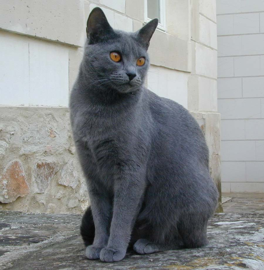 chartreux-cat