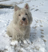 West Highland White Terrier (Tara)