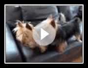 Australian silky terrier jogando