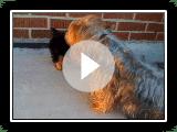 "Yorkie ""maximus"" vs Silky terrier "" Scamper"""