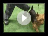 2007-Australian Terrier