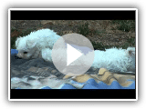 Cuccioli di bolognese settembre 2011