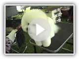 Race de chien Bichon Frise