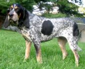 BluetickCoonhound