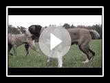 Boerboel Ysterberg line breed, Mojo brothers