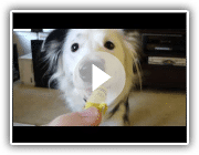 Amazing Dog Tricks by Paige the Border Collie!
