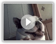 Boston Terrier dog likes his belly tickled! Funny face ~ CUTE! (Original)
