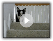 Jasper le chiot Boston Terrier Freaking Out