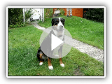 Großer Schweizer Sennenhund Greater Swiss Mountain Dog Cattle Dog Swissy