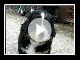 Berner Sennenhund welpen | Montagne bernois chiens chiots