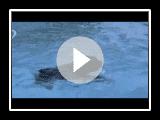 bouvier de flandes bañandose en la piscina