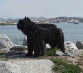 Flandrische Treibhund