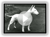 ENGLISH BULLTERRIER_xvid.avi