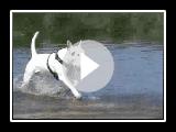 Bull Terrier vs Pug
