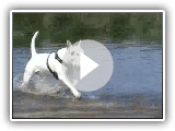 Bullterrier vs. Mops