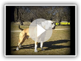 Documental American Bulldog part.1