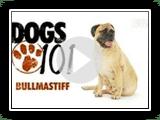 Dogs 101- Bullmastiff