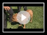 Los perros Bullmastiff