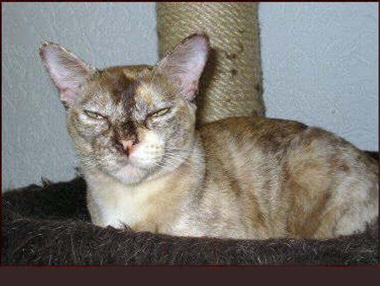 Tortoise Shell Burmese Cat Pictures
