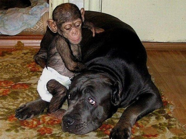 Chimp-and-dog
