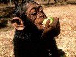 Chmpanzé