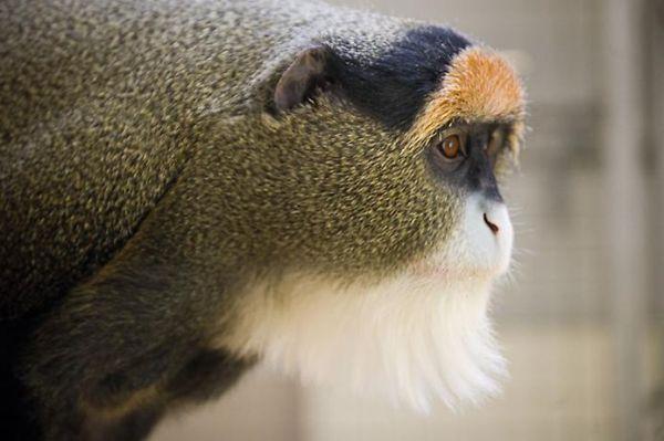 Mono de brazzas