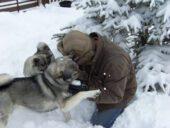 Elkhound Sueco