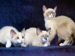 Les chats-raquettes