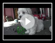 Maltesisch Welpen - 8 Wochen alt