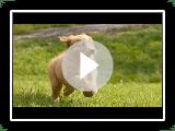Nova Scotia Duck péage Retriever från Andrummets Kennel (Film commence après les photos)